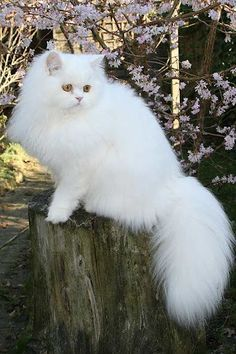 White Persian. www.largestcatbreed.com