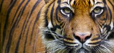 Go Wild » Sumatran Tiger