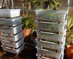 Sprouting seeds for chickens using Dollar Store mesh baskets in an unheated greenhouse.