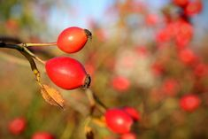 Rose Hips: the Hippest Fruit (with Amazing Health Benefits! Fruit Benefits, Health Benefits, Health Tips, Boost Immune System, Red Fruit, Home Remedies, Garden Plants, Red Roses, Health And Beauty