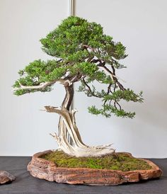 Juniper Bonsai, Bonsai Styles, Treehouse, Ikebana, Shrubs, Jade, Trees, Crochet, Flowers