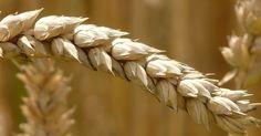 Cereali: elenco, proprietà e calorie