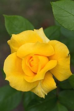 Yellow Rose Lavender Roses, Yellow Flowers, Pink Roses, Rose Flower Pictures, My Flower, Pretty Roses, Beautiful Roses, Virtual Flowers, Roses Only