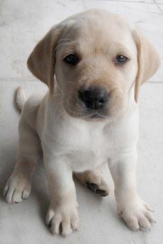 precious lab pup :)