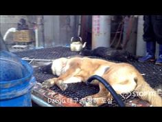 ▶ Shocking Cruelty of South Korean Dog Meat Industry (Undercover Video by Stop It! Korea) - YouTube (DON'T LET YOUR CHILDREN watch this)