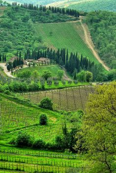 Chianti vineyard in Siena, Tuscany, Italy