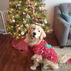Flynn ❤ Golden Life, Santa's Little Helper, Days Until Christmas, Golden Retrievers, Handsome, Puppies, Photography, Stuff To Buy, Animals