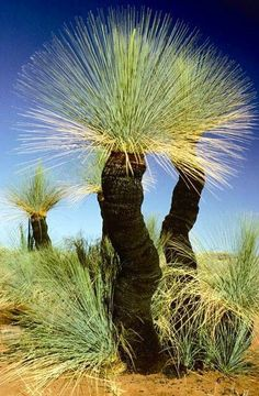 Now called Grass Tree (were once known as Black Boys), Australia Have these in the natural bush part of my garden in the Perth hills. Supposedly it takes ten years to grow one foot in height Australian Native Garden, Australian Plants, Australian Native Flowers, Australian Bush, Bonsai, Unique Trees, Tree Forest, Tree Tree, Nature Tree