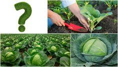 Как вырастить капусту на даче основные правила хорошего урожая, особенности выращивания, практический опыт проверенные народные способы борьбы с вредителями