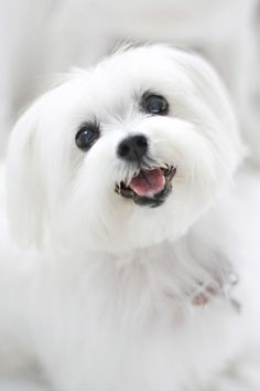 sweet little maltese #maltese #DogAccessories