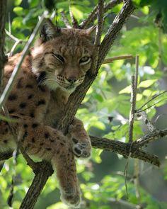 Das sehr große Freigehege über sonnige Wiesen und schattigen Waldwegen ist gut und schön zu durchwandern. Entlang des Weges trifft man immer wieder frei laufende Tiere, wie Steinböcke oder Rehe an. An heißen Sommertagen bietet der Spazierweg durch den Wald wohltuenden Schatten und lädt zum Verweilen ein. Die Wege sind größtenteils mit dem Kinderwagen befahrbar. Die Luchse (Lynx) sind eine Gattung in der Familie der Katzen. Alle vier heute lebenden Arten kommen auf der Nordhalbkugel vor. Tier Zoo, Labyrinth, Panther, Bear, World, Animals, Miniature Goats, Game Reserve, Lynx