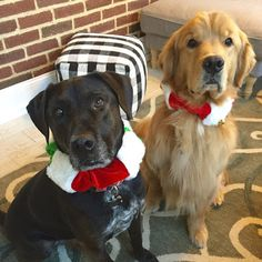 Clyde & Gus decked out for Christmas!  #goldenretriever