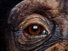 Close-up of male chimpanzee's eye