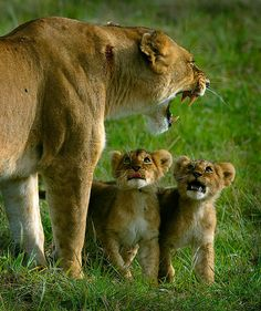 Mom is yelling. One cub looks like I am all innocent and the other cub looks like he is trying to get out of whatever they did wrong.