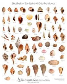 Sanibel Shells. Shell bounty depends on season and time. Explore World's Best Shelling Beaches on Beach Bliss Living here: http://beachblissliving.com/sanibel-island-worlds-best-shelling-beaches/