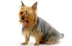 5 Things to Know About Silky Terriers