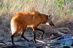 Lobo-guará / Chrysocyon brachyurus