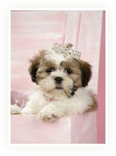 Shih Tzu Princess! Oh my gosh I love MY shih tzu  but He would be a prince!