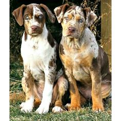 Beautiful babies those eyes are so blue. Cute Puppies, Cute Dogs, Dogs And Puppies, Hog Dog, Dog Cat, Dog Pictures, Animal Pictures, Catahoula Cur, Sweet Dogs