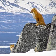 Peek-a-boo! Two cute red foxes play a game of hide and seek at Lake Clark National Park & Preserve in Alaska. Which fox are you? Photo by National Park Service.