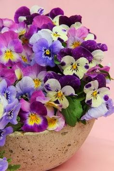Pansies and violas can be planted very early in spring, even when there is still frost in the forecast!