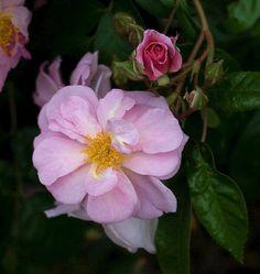 Polyantha Climbing Rose: Rosa 'Renae' (U.S., 1954)