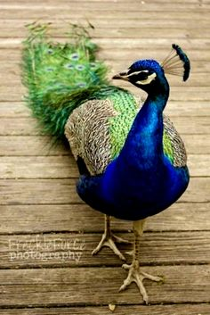 beautiful Peacock, my little family member we share the same name hehe