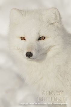 Arctic fox portrait by Charles Glatzer on 500px Great Photograph!