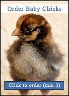Shop Baby Chicks for Sale Direct from the Chickens for Backyards Hatchery - Order Today & Start your Very own Custom Backyard Flock! We have hatching eggs, fowl, and more. Buy Chickens, Raising Chickens, Chickens Backyard, Pet Ducks, Baby Ducks, Chicks For Sale, Goat Care, Mini Farm, Hobby Farms