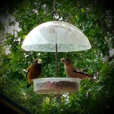 Enjoying the Evening Grosbeak in our feeder on this lovely Mother's Day afternoon.