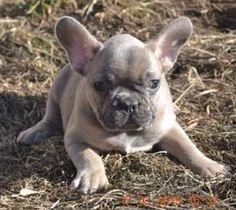 Blue fawn French bulldog laying down Blue Fawn French Bulldog, French Bulldogs, French Bulldog Pictures, Bull Terriers, Loki, Doggies, Pugs, Cute Dogs, Husky