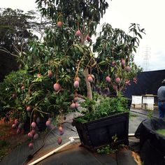 I want a Mango tree fruiting like this.