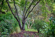 Trunk shapes echo in Western Hills garden
