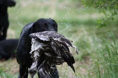 #labrador #retriever #vauhti-noudon #kennel
