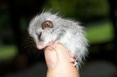 Bildergebnis für opossum