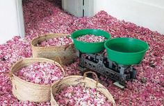Roomfuls of blossoms are distilled to produce minute quantities of precious attar, or rose oil, the most widely used ingredient in the world's commercial perfumes.