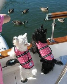 tiffy just got her pink polka dot Paws Aboard life jacket so she can safely go swimming...the handle on top is awesome to pluck them out of the water!