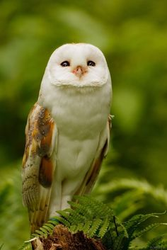 Barn Owl -- By Robert K