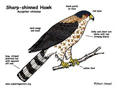 Barn Owl Diagram   Outdoor Science School - Activities for ...
