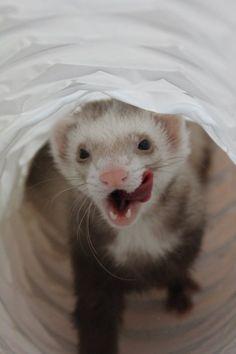 Cute Pet Ferret in Toy Tunnel