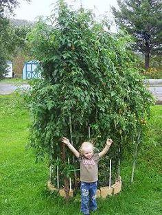 Így lehet neked is rekord nagy paradicsomod! Tomato Garden, Gardening, Plants, Lawn And Garden, Plant, Planets, Horticulture