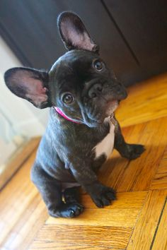 My ears are twice the size of my face! #cute #puppy #dog @American Kennel Club