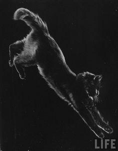 Portrait of Blackie, Gjon Mili cat. Gjon Mili, New York, 1943.Source: LIFE Photo Archive, hosted by Google.
