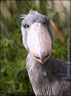 The Shoebill (Balaeniceps rex, clunozobec africky) from ZOO Prague, Czech republic by woxys