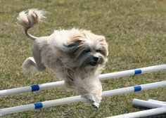 Ollie practicing his agility jumps.