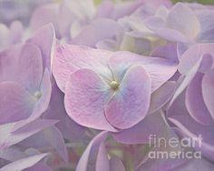 """Symphony in Purple"" - closeup of hydrangea blooms by Kim Hojnacki."