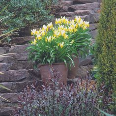Plant spring bulbs in containers