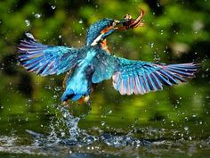 Animal Picture Blue Bird Catching Fish In Lake
