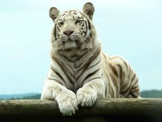 A tiger is born with white coloring as a result of a mutation from the recessive gene of a Bengal tiger. Interestingly, a white tiger tends to be larger than common orange-colored tigers, which possess normal genes. Estimations show that white tigers occur about once in 15,000 Bengal tiger births.