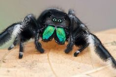 """Have you ever looked a spider and said to yourself """"what an adorable spider""""? Nature Pictures, Animal Pictures, Beetle Insect, Jumping Spider, Dangerous Animals, Bugs And Insects, Spirit Animal, Scary, Cute Animals"""